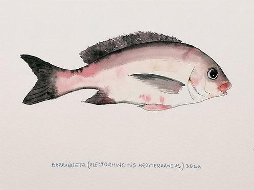 Borriquete (Plectorhinchus Mediterraneus) - Reproducción- RO