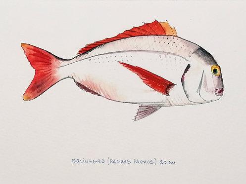 Bocinegro - Reproducción
