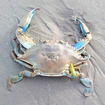 BlueCrab_DollymountStrand_15Feb2021_Phot
