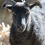 ronaldsay-sheep_edited.jpg