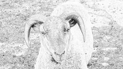Buddy the Ram