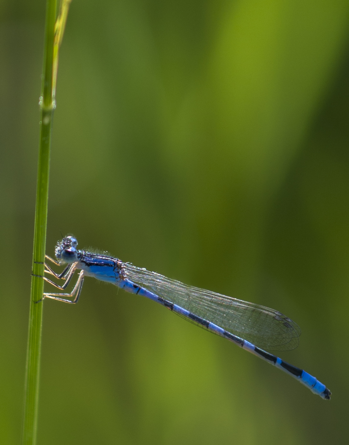 Damsel Fly, Coot Lake