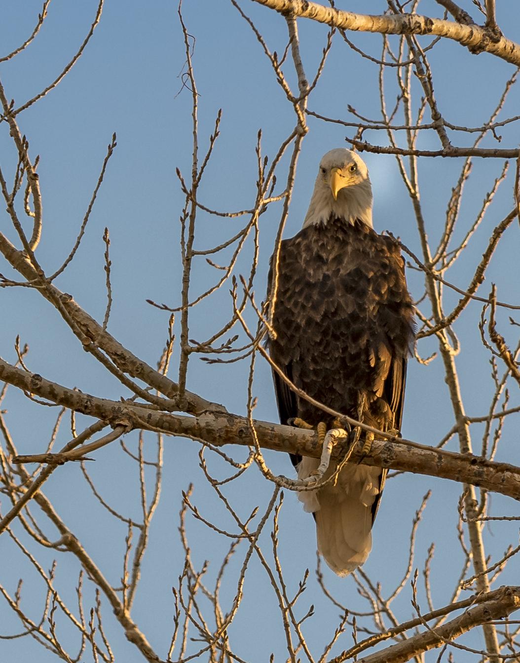 Bald Eagle, Lagerman Res