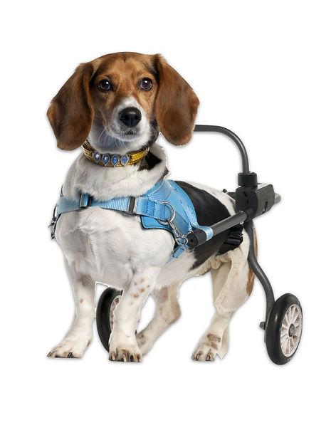 dog wheelchair.jpg
