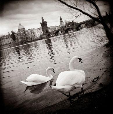 Prague_Valta_Swans.jpg