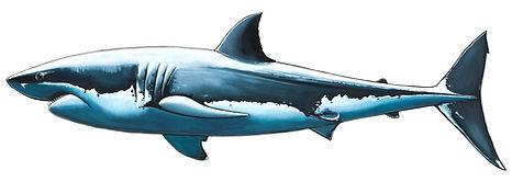 White Shark 1 .jpg
