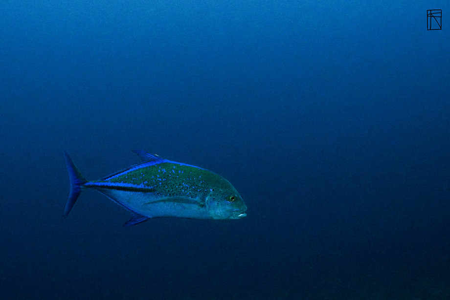 Blue Fin Trevally