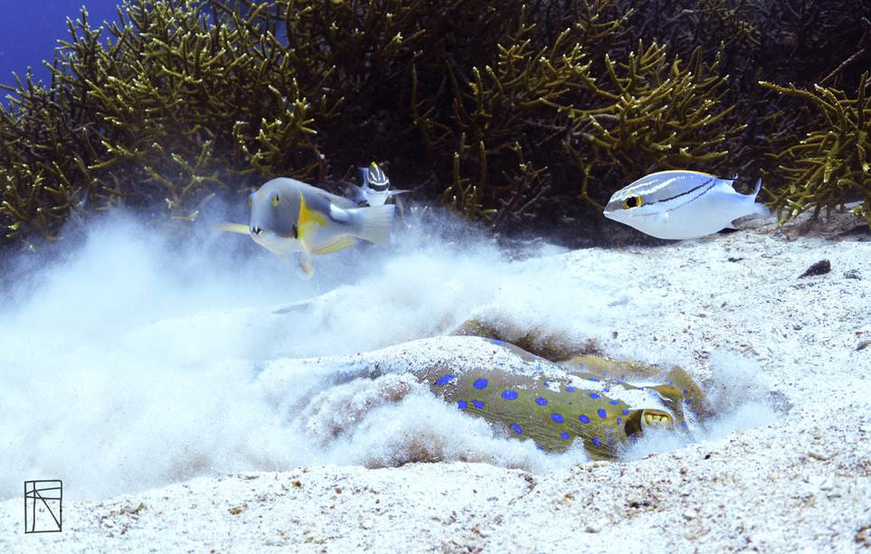 Blue Lagoon Stingray eating