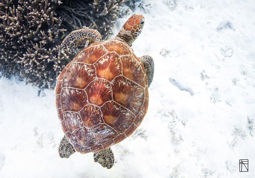 Green Turtle 01
