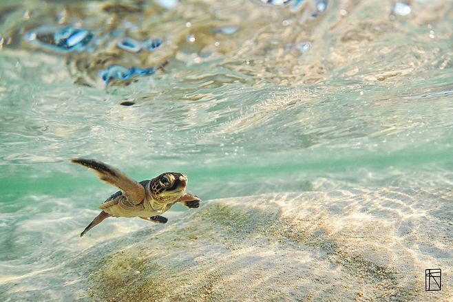 Baby Turtle 01 .jpg