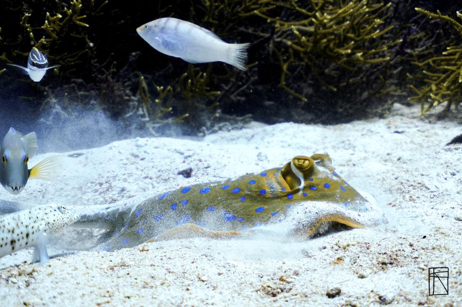 Blue Lagoon stingray hunting