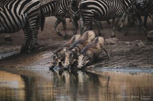 Warthogs drinking, Tahita Hills, Kenya, Wildlife