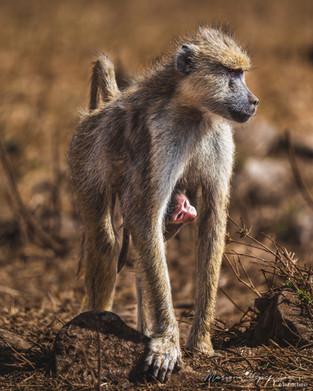 Baboon, Tahita Hills, Kenya, Wildlife
