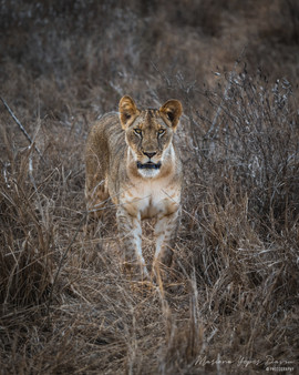 Lion, Tsavo Est, Kenya, Wildlife