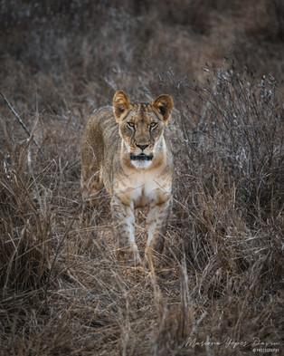 Lion, Tsavo Est, Kenya, Wildlife