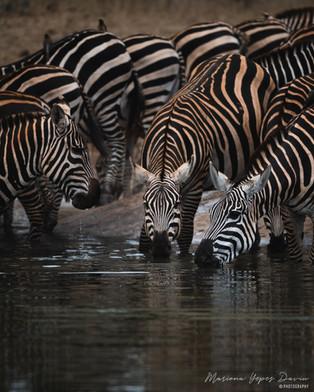 Zebras, Tahita Hills, Kenya, Wildlife