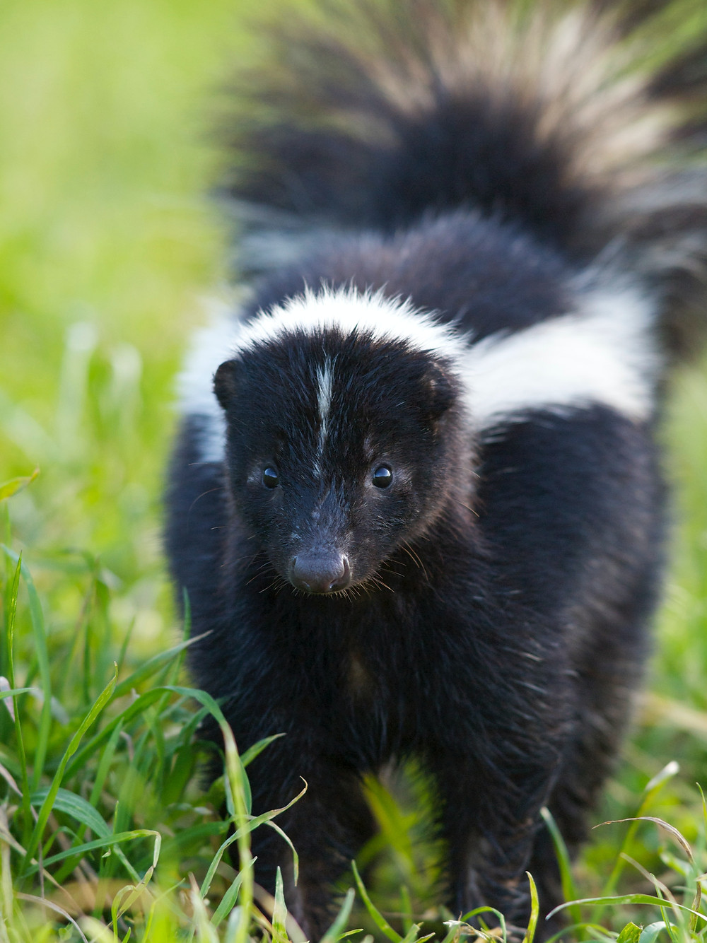 skunk looking for trouble