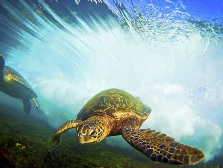 Green Sea Turtles Rally
