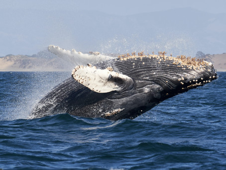 The Whales of Cortez