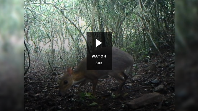 Silver-backed chevrotain, or mouse-deer, thought extinct, caught on camera in Vietnam