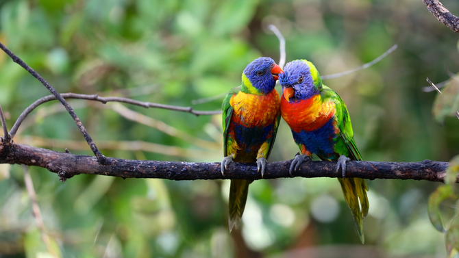 Native birds in south-eastern Australia worst affected by habitat loss