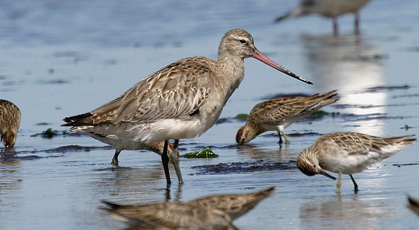 Shorebirds in intertidal habitat need protection