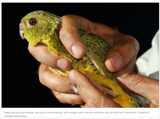 Night parrot found to have poor vision, keeps running into things in the dark
