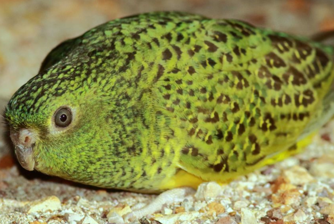 Night parrot located by KJ rangers on Martu country in the Pilbara