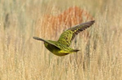 Descriptions of known vocalisations of the Night Parrot Pezoporus occidentalis