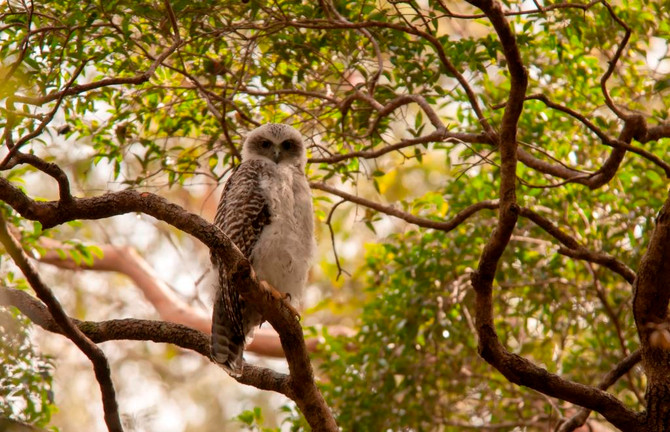Powerful Owls at Mt Coot-tha