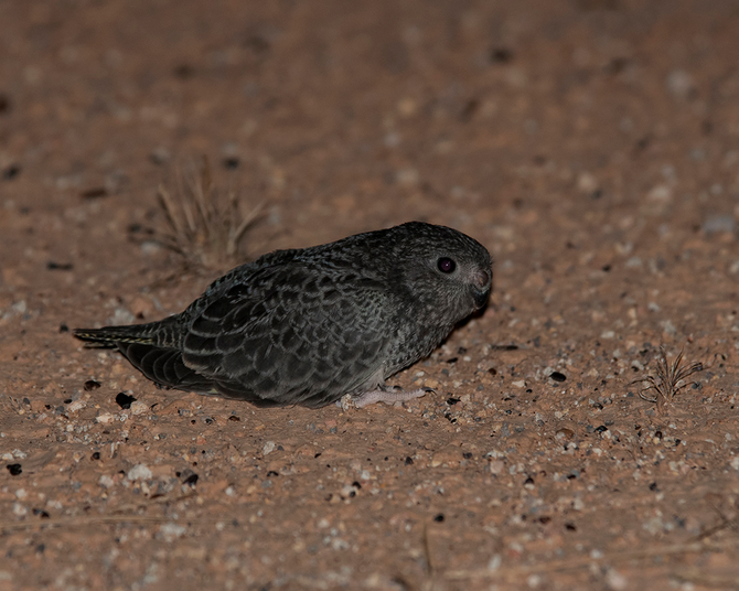 The Night Parrot - no other bird quickens the pulse quite like this one