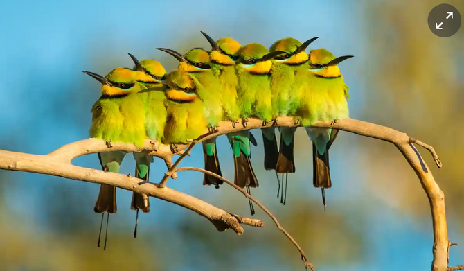 Australia's beloved native birds are disappearing – and the cause is clear