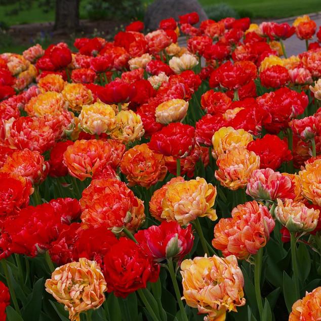 tulip gudosshncik.jpg