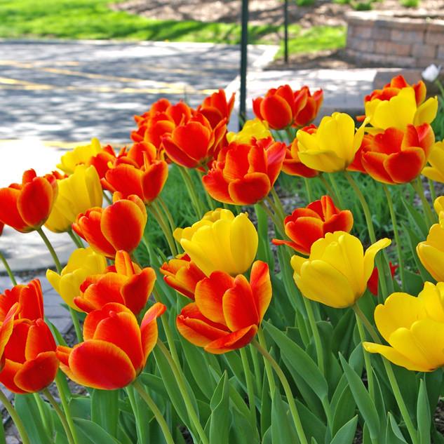 tulip gold embers blend.jpg