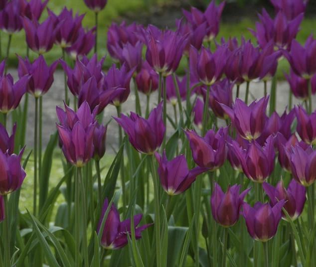 tulip purple dream.jpg
