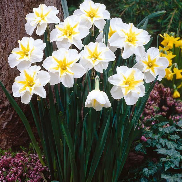 daffodil lemon beauty.jpg