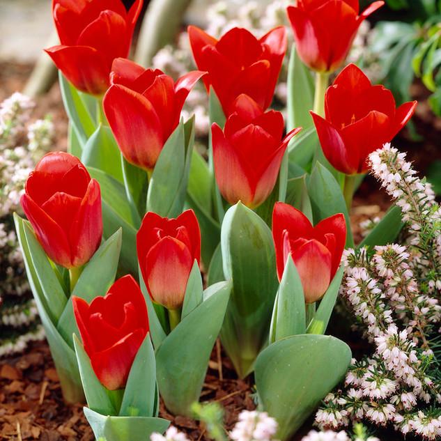 tulip showwinner.jpg