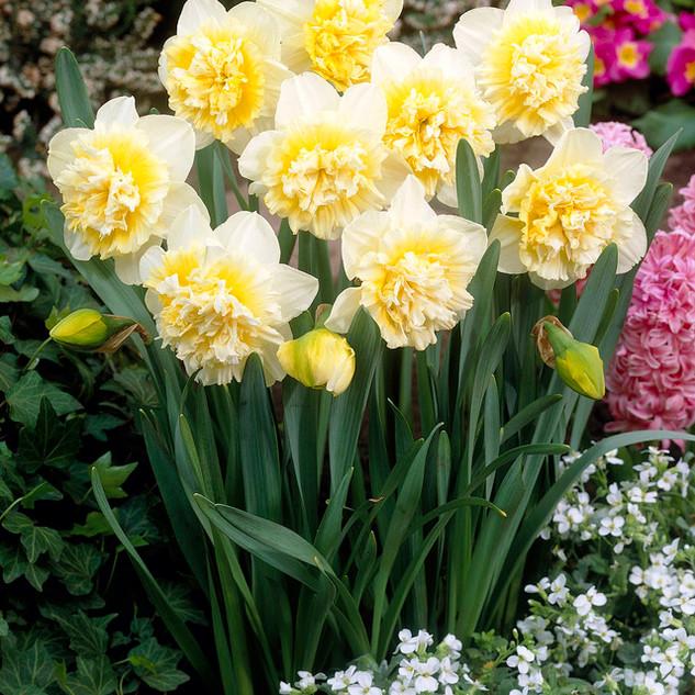 daffodil double ice king.jpg