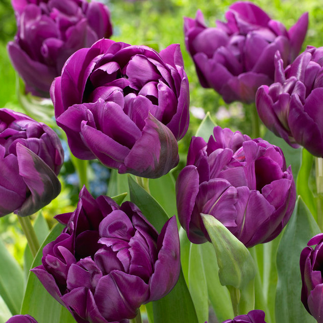 tulip double negrita.jpg