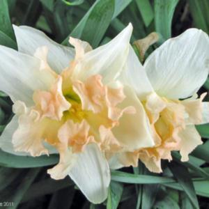 daffodil palmares.jpg
