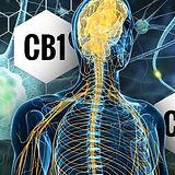 CB1-AND-CB2-RECEPTORS.jpg