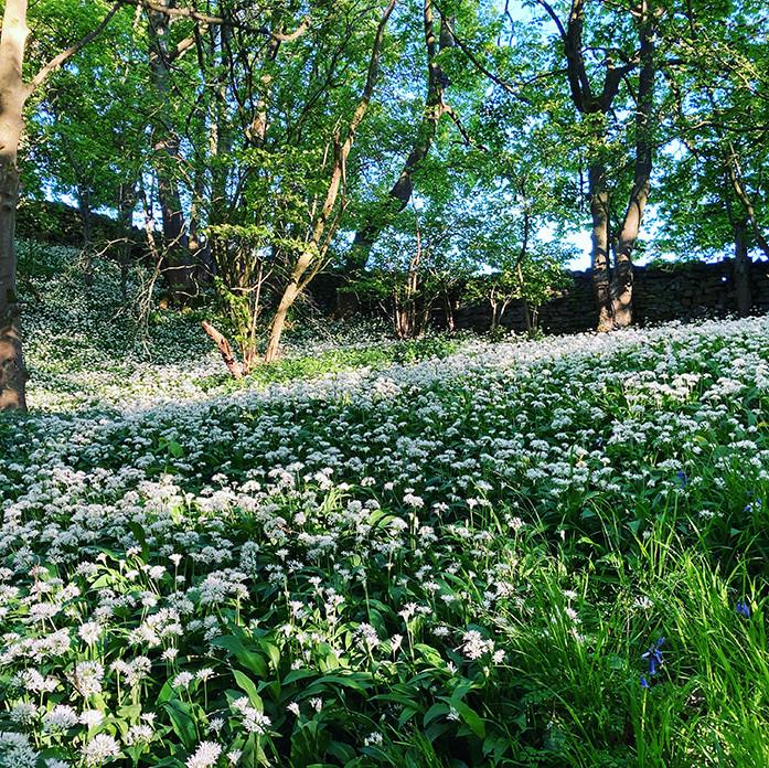 Wild garlic_Swartha Woods_May 2020 WEB.j