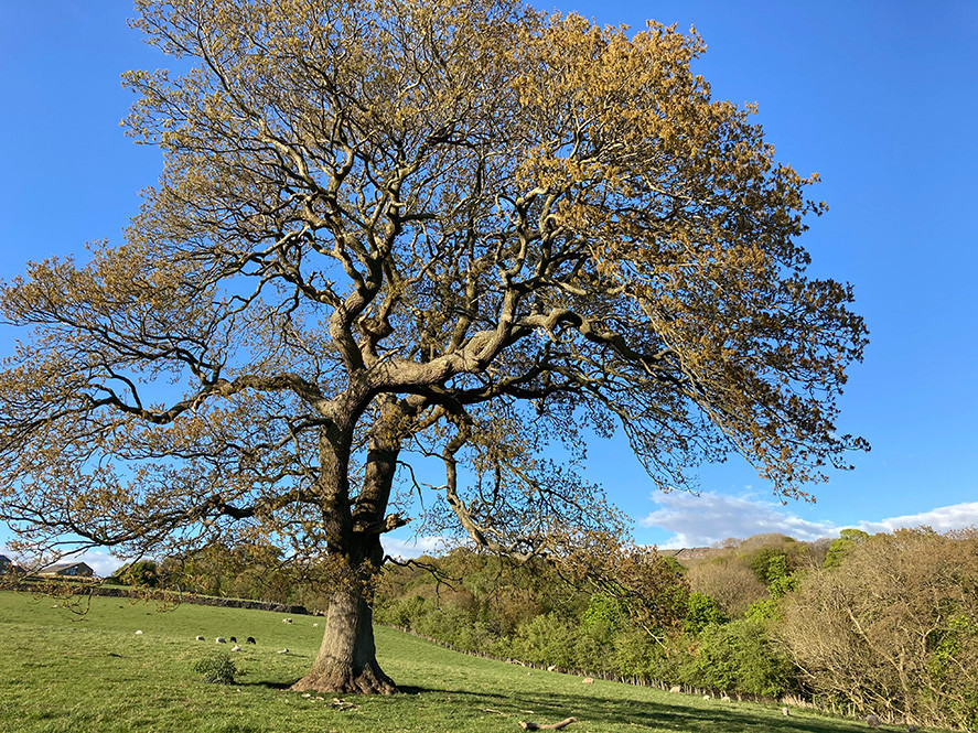 Ancient Swartha tree_May 2020.jpg