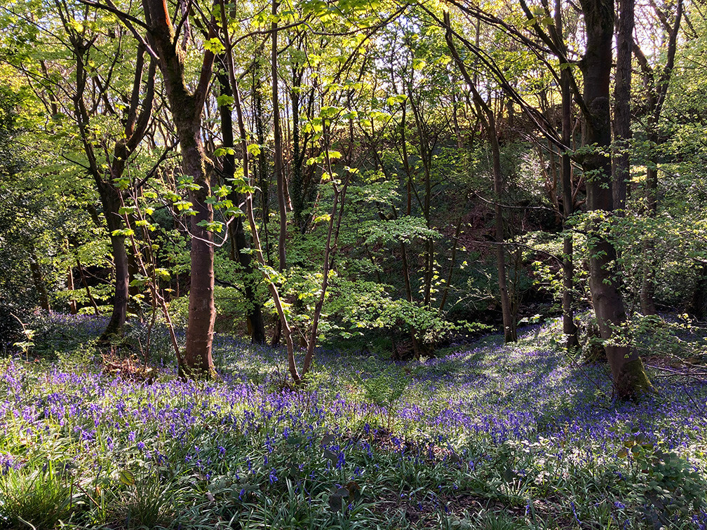 Bluebells beneath the trees_Swartha Wood