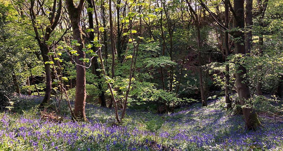 Bluebells beneath the trees_Swartha Wood