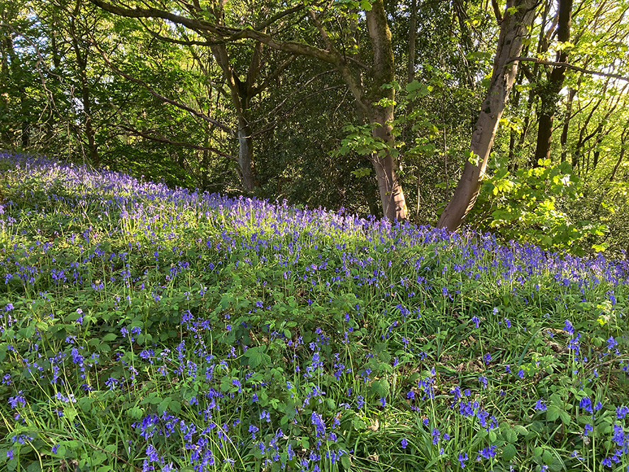 Bluebells_Swartha Woods_May 2020.jpg