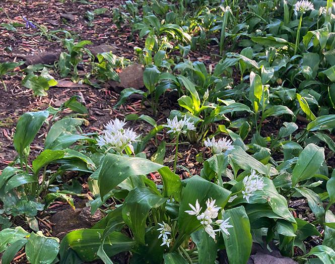 Wild garlic clump_Swartha Woods_May 2020