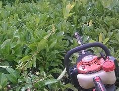 hedgetrimmer trimming laurel hedge