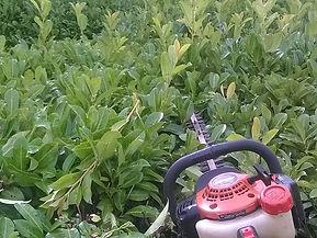 Hedgetrimming cutting laurel hedge