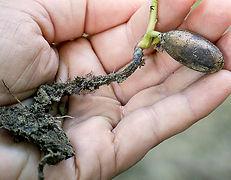 Tree planting nursary root shoot